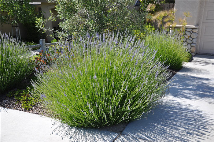Plant photo of: Lavandula X intermedia 'Grosso'