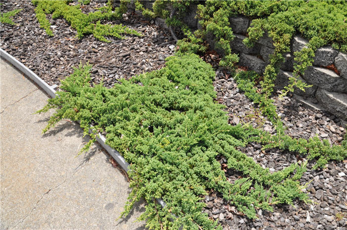 Plant photo of: Juniperus procumbens 'Nana'
