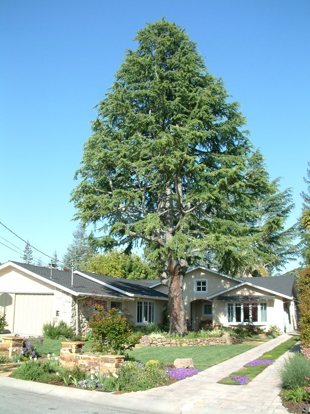 Plant photo of: Cedrus atlantica