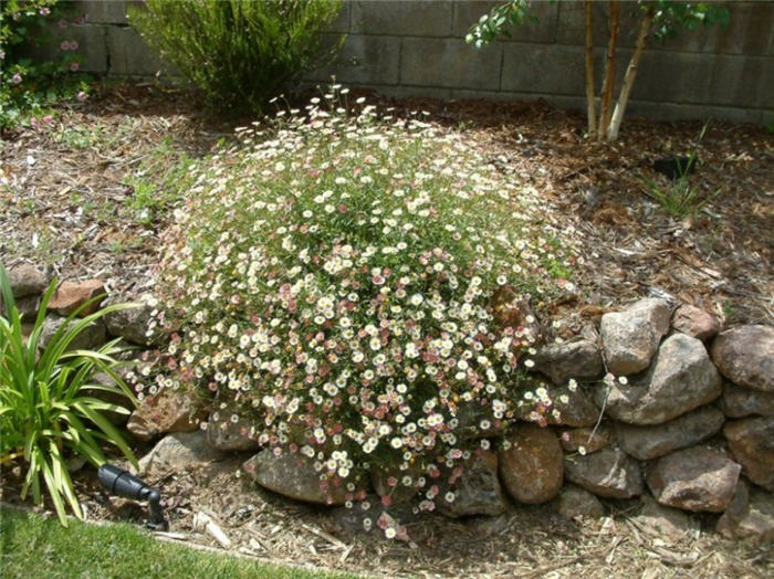 Plant photo of: Erigeron karvinskianus