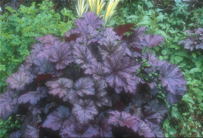 Plant photo of: Heuchera 'Amethyst Mist'