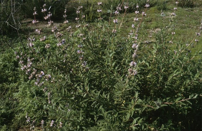 Plant photo of: Salvia 'Allen Chickering'