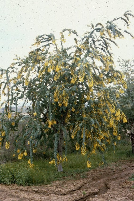 Plant photo of: Acacia baileyana