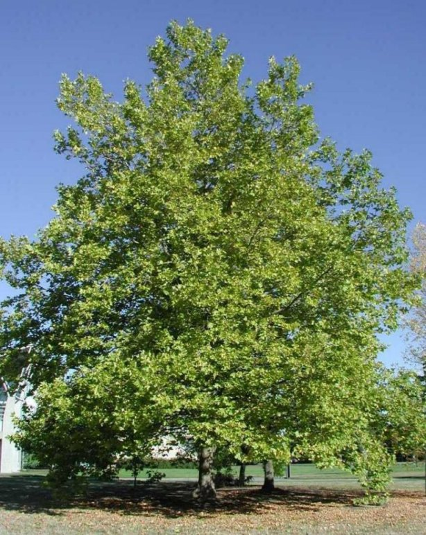 Plant photo of: Platanus X acerifolia
