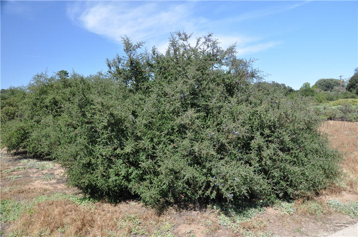 Plant photo of: Ceanothus impressus Nipomensis