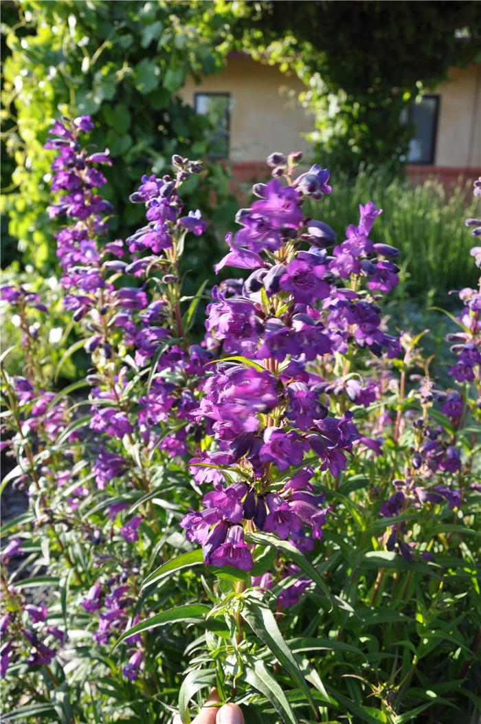 Plant photo of: Penstemon 'Purple'