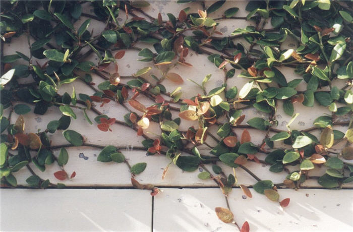 Plant photo of: Ficus pumila