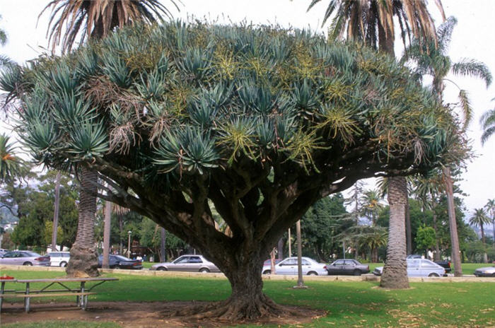 Plant photo of: Dracaena draco