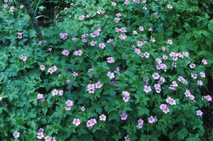 Plant photo of: Geranium endressi