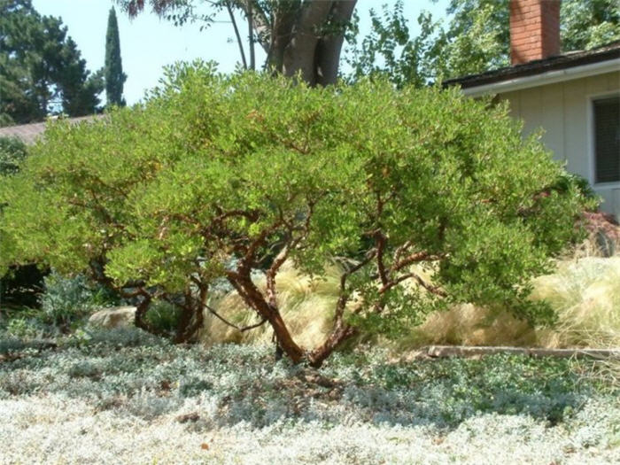Plant photo of: Arctostaphylos densiflora 'Howard McMinn