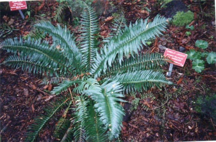 Plant photo of: Polystichum munitum