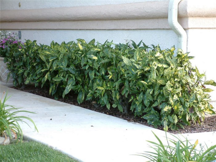 Plant photo of: Aucuba japonica