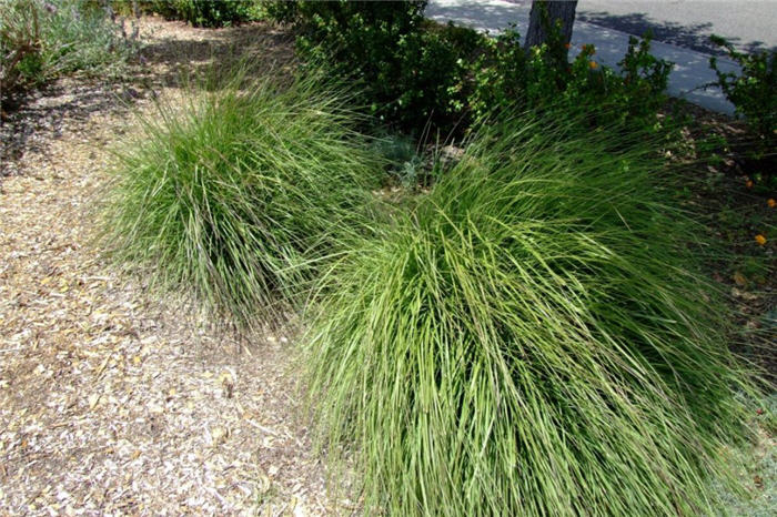 Plant photo of: Stipa gigantea