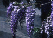 Wisteria sinensis 'Cooke's Special'
