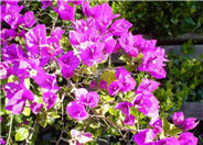 Bougainvillea selections