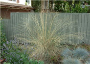 California Fescue