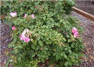 Rosa Shrub varieties