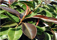 Rubber Plant, Rubber Tree